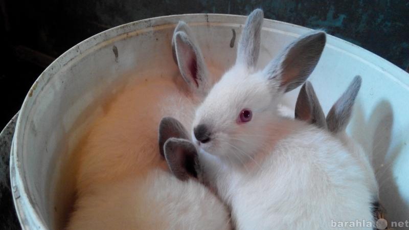 Продам кролики колифорнийцы