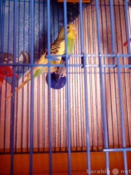 Продам: Волнистый попугай