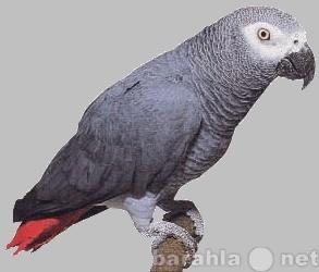 Продам попугай жако