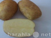 Продам Семенной картофель из Беларуси