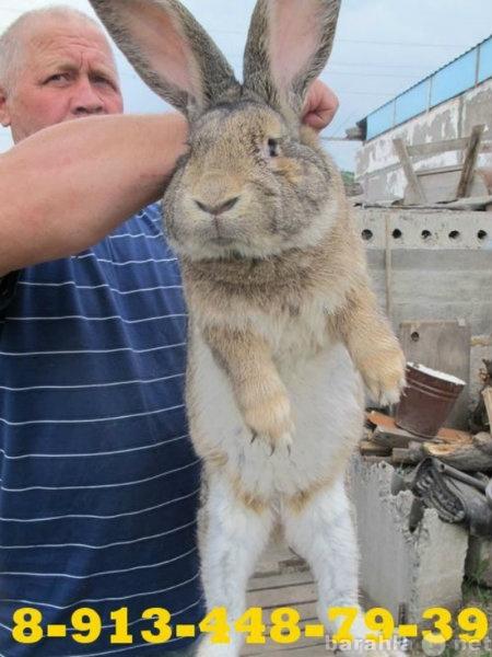 Продам: Купить кроликов в Саяногорске