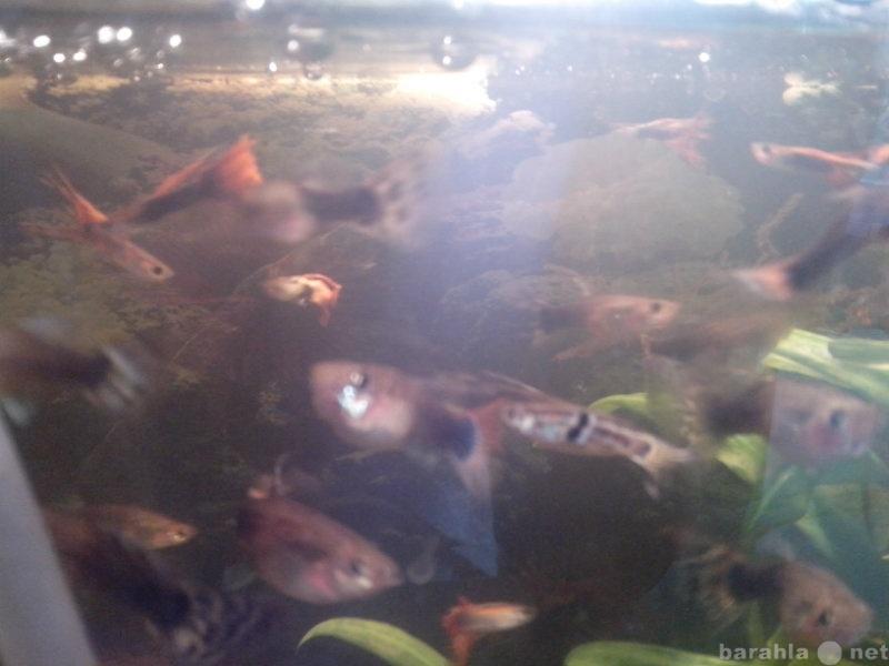 Продам рыбки гуппи, улитки мелании