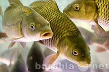 Продам Живая рыба на дом