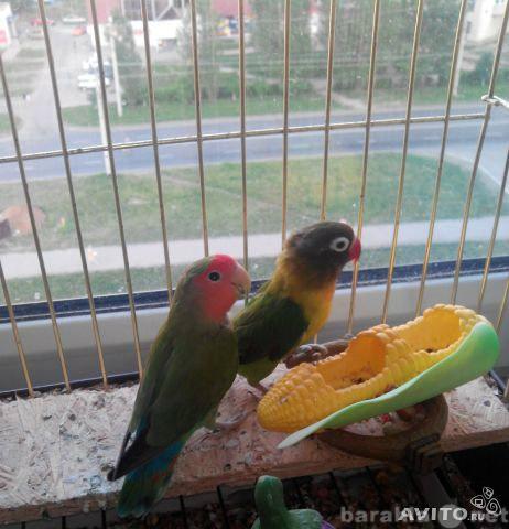 Продам попугаи неразлучники