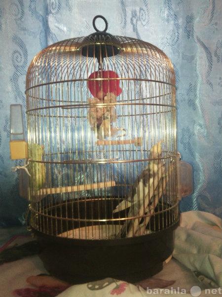 Продам Попугай Корелла
