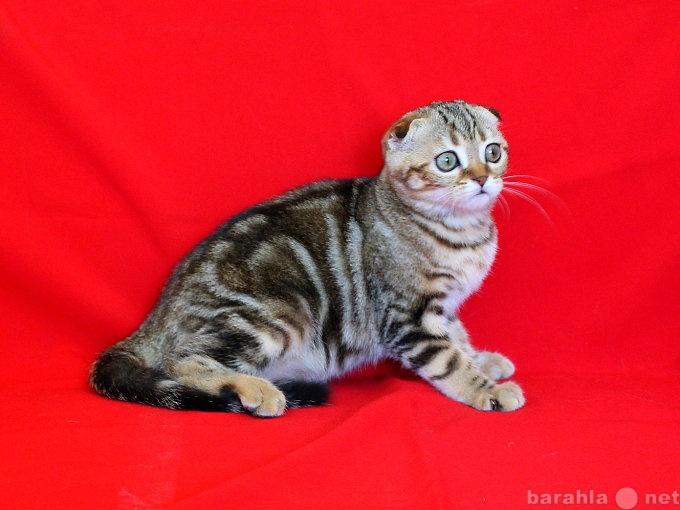 Продам Шотландские вислоухие котята ArtsFamily