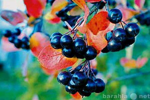 Продам: Ягоды черноплодной рябины (Аронии)