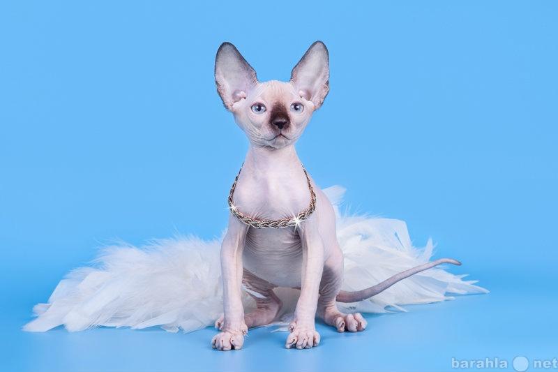 Продам: Кошка с уникальным характером-сфинкс.