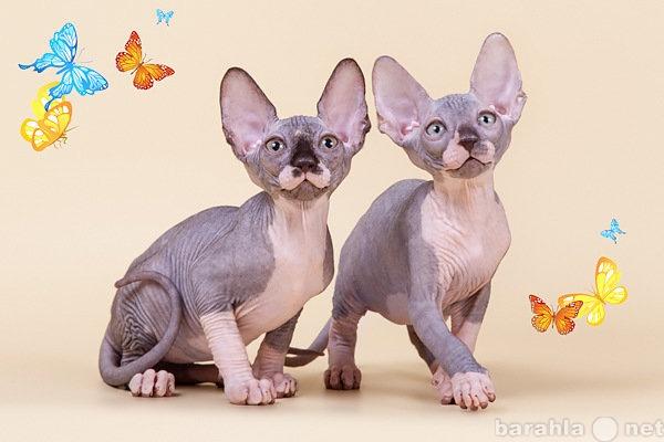 Продам Упитанные и воспитанные котята-сфинкс.
