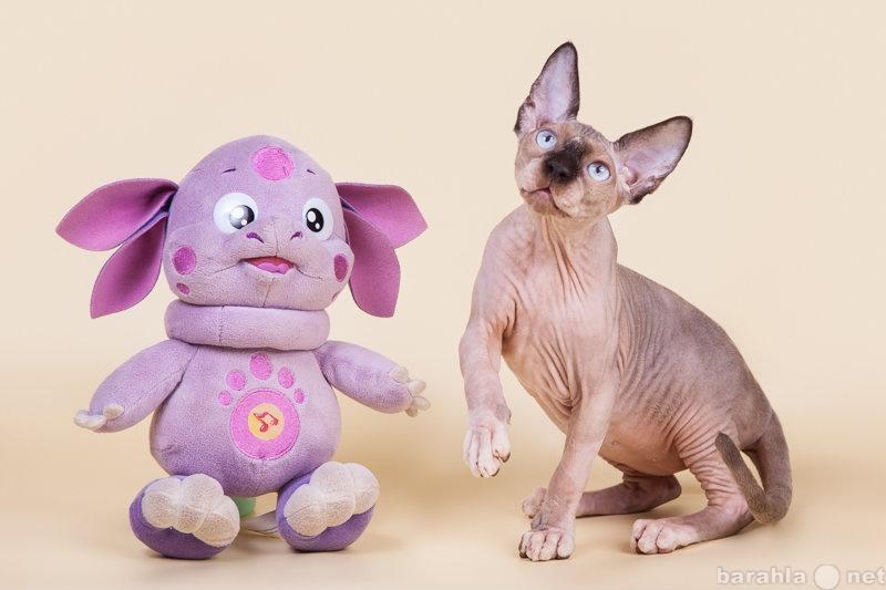 Продам: Нежные, как пух, котята сфинкс.