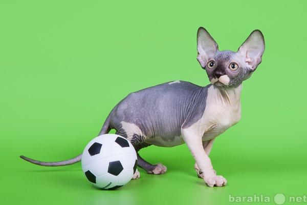 Продам: Сфинкс-восхитительный котёнок!