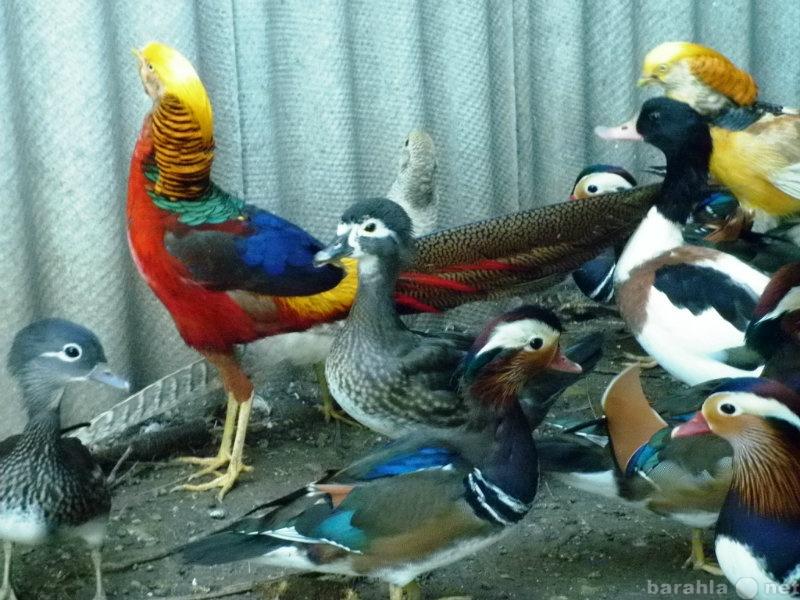Продам фазаны,утки декоративные ,голуби