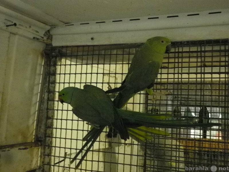 Продам попугай ожереловый