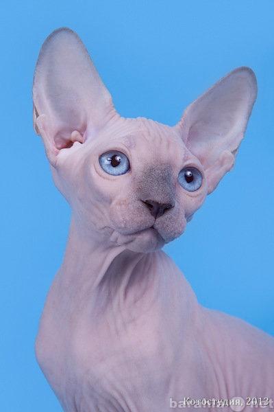 Продам Сфинкс–одна из старейших пород кошек.