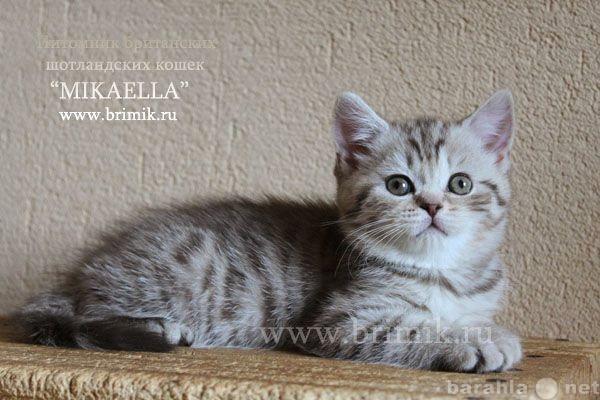 Продам: Британские котята с рисунком на шубке