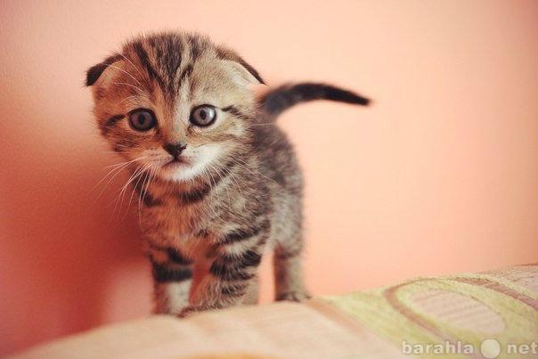 Куплю Котенка, вислоухую девочку