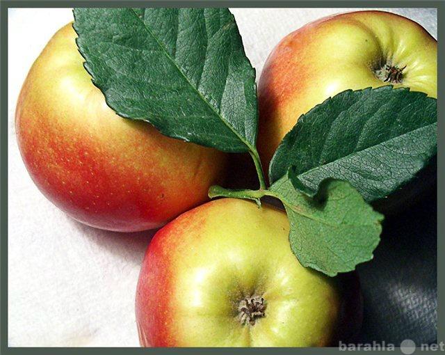 Куплю яблоки оптом