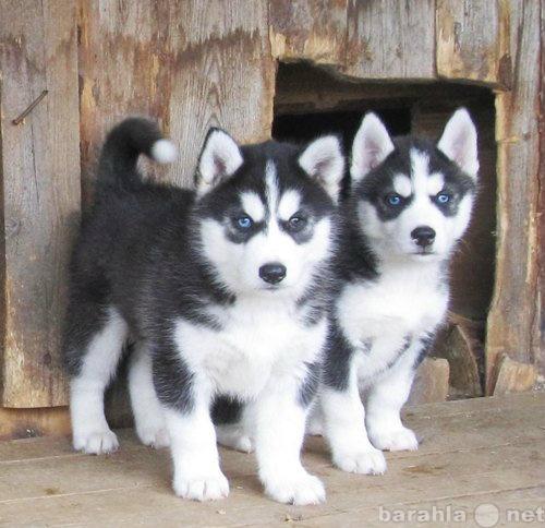 Продам щенки Хаски, от 5 нед, черно-белые и сер