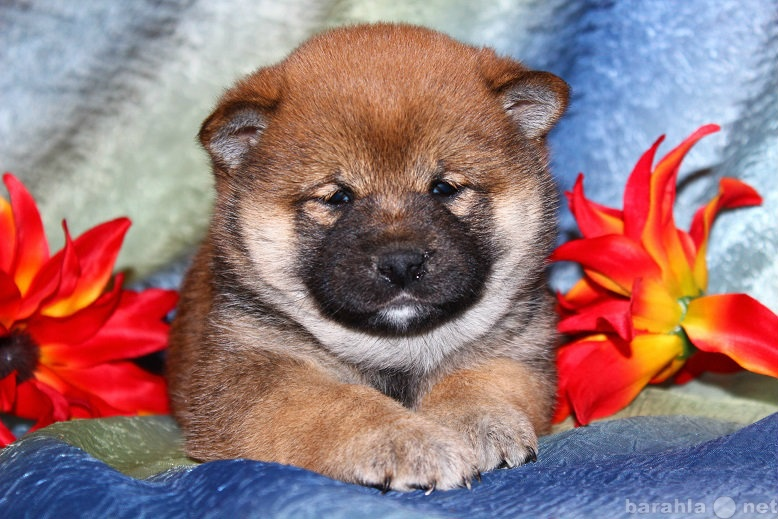 Продам Шиба Ину (маленькая Акита) щенки..