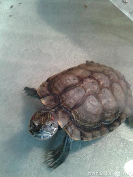 Продам Красноухих черепах