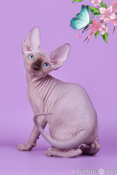 Продам Заворaживающий котёнок сфинкс.