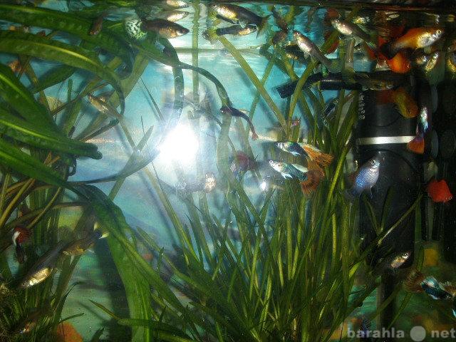 Продам Аквариумные рыбки (Гуппи)