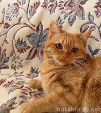 Продам: Британские кошки