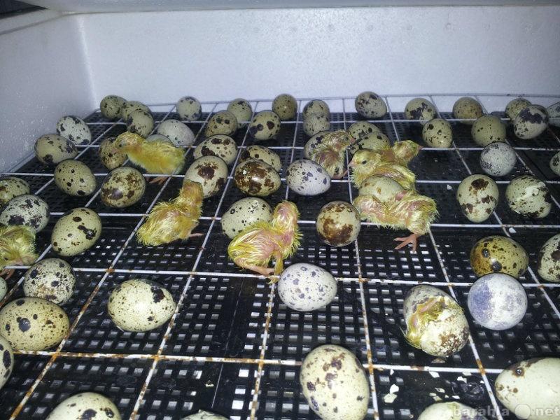 Продам Яйцо инкубационное, перепела от 1-60 сут