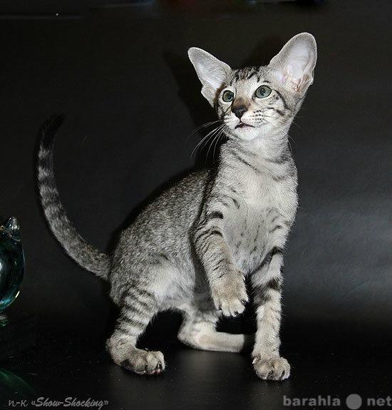 Продам Ориентальные котята,окр.пятнист,пойнт.