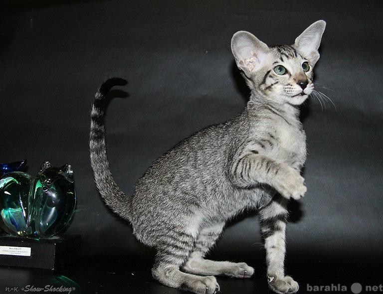 Продам Ориентальные котята,окр.пойнт,пятнистый