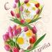 Продам тюльпаны к8 марта.дешево(предзаказ)