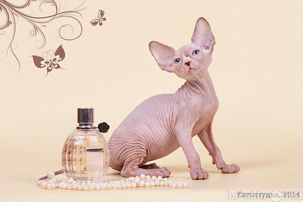 """Продам """"Странный котёнок"""". Канадский"""