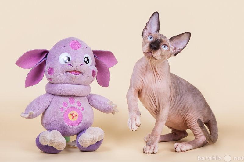 Продам: Самая удивительная кошка - сфинкс!