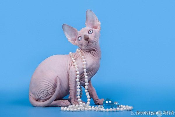 Продам Одна из самых удивительных пород кошек -