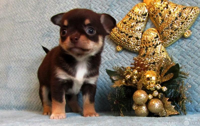 Продам чихуахуа мини собачки