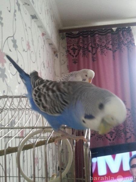 Продам Двух волнистых попугайчиков с клеткой
