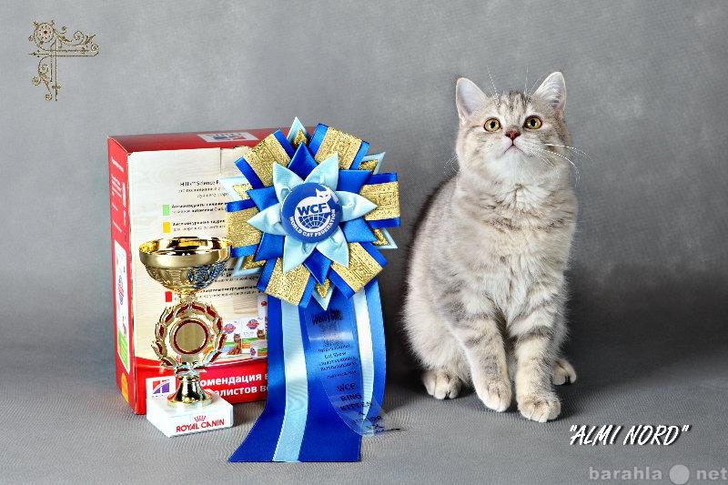 Продам: котенок   Шотландская скоттиш страйт