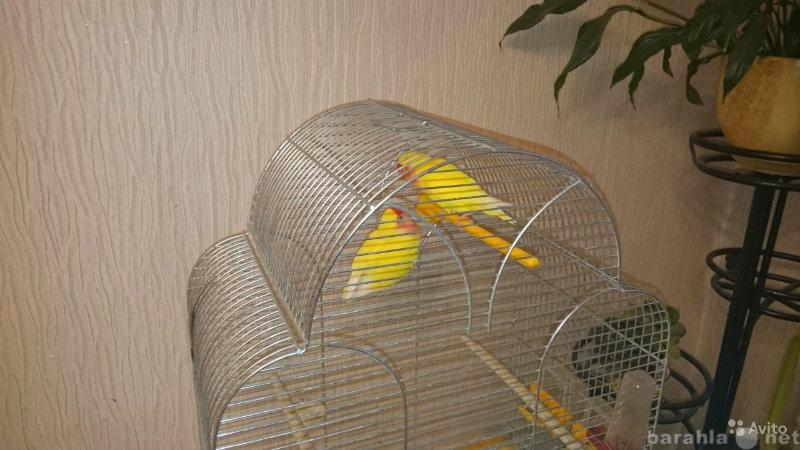 Продам Попугаи неразлучники (желтого цвета)