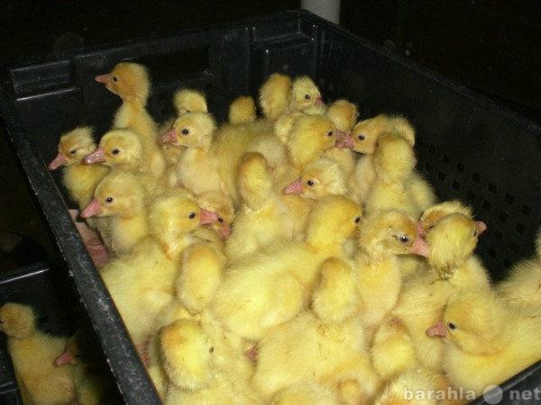 Продам Цыплята, Гусята, Несушки, Бройлер, инкуб