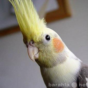 Продам ручного попугая корелла