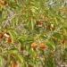 Продам Растительные чаи. Кинкелиба. Африка