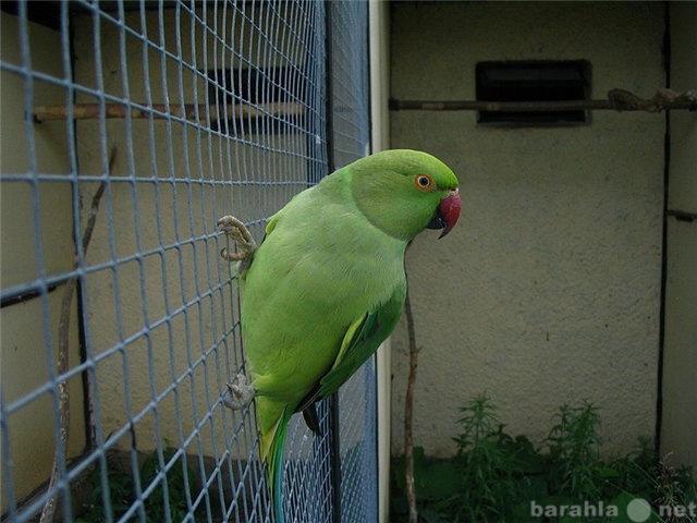 Продам: ожереловый попугай