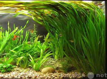 Продам: Растения аквариумные