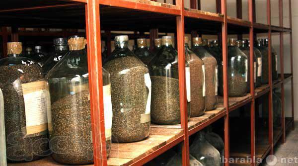 Продам: Семена сосный обыкновенной 1 класса