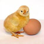 Продам Инкубационное яйцо несушка