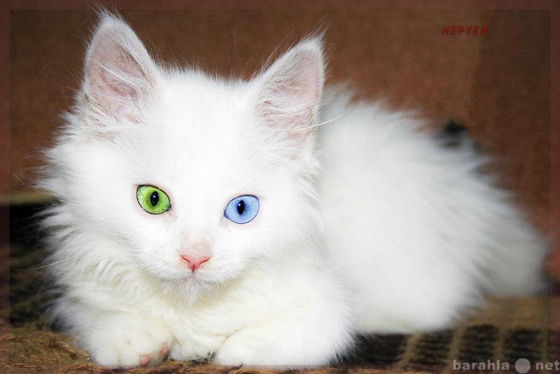 Приму в дар нужен срочно белый котенок