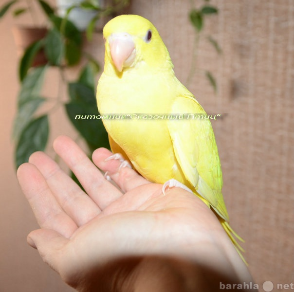 Продам: Ручной  ожереловый попугай – окрас  золо