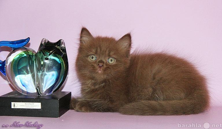 Продам Британские котята,окр.крем,черн,шоколад.