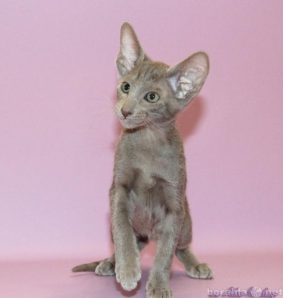 Продам Восточные котята,различных окрасов.