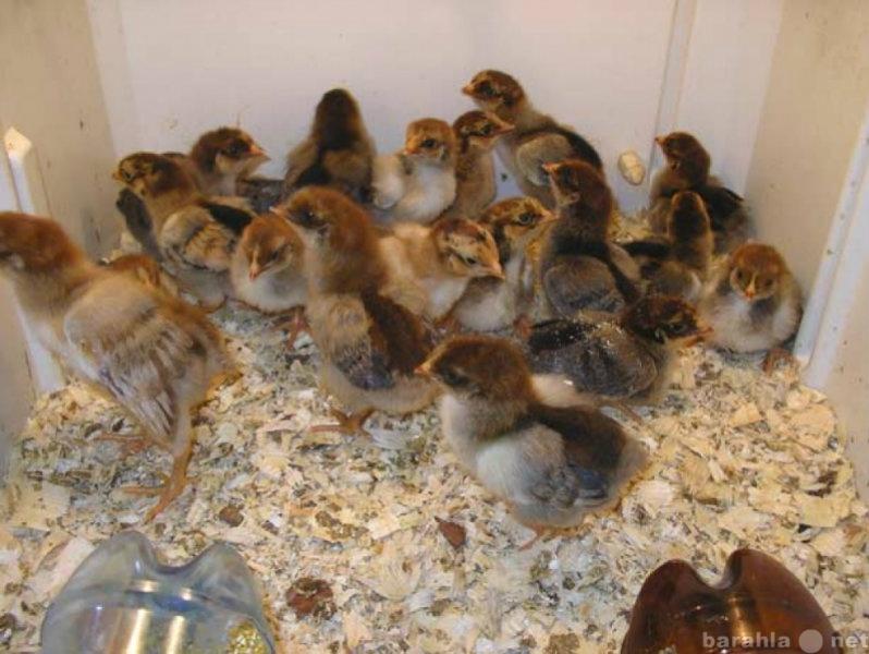 Продам Цыплята 40 рублей